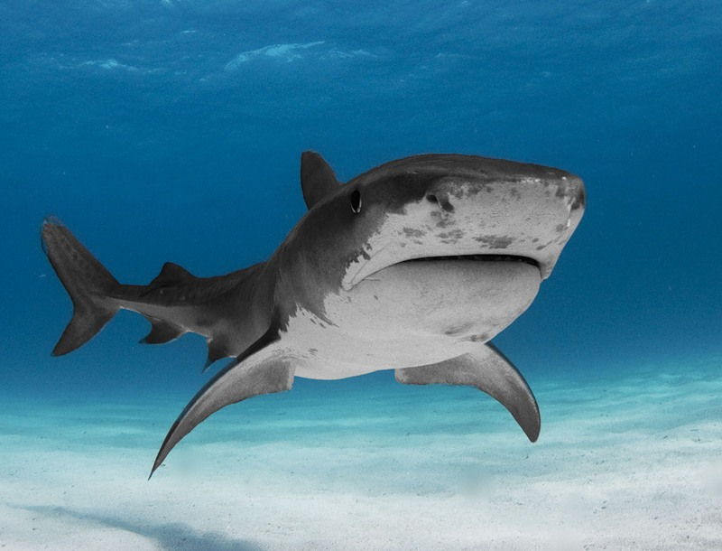 Белая акула фото (500 фото) ∞ Лагуна акул   610x800