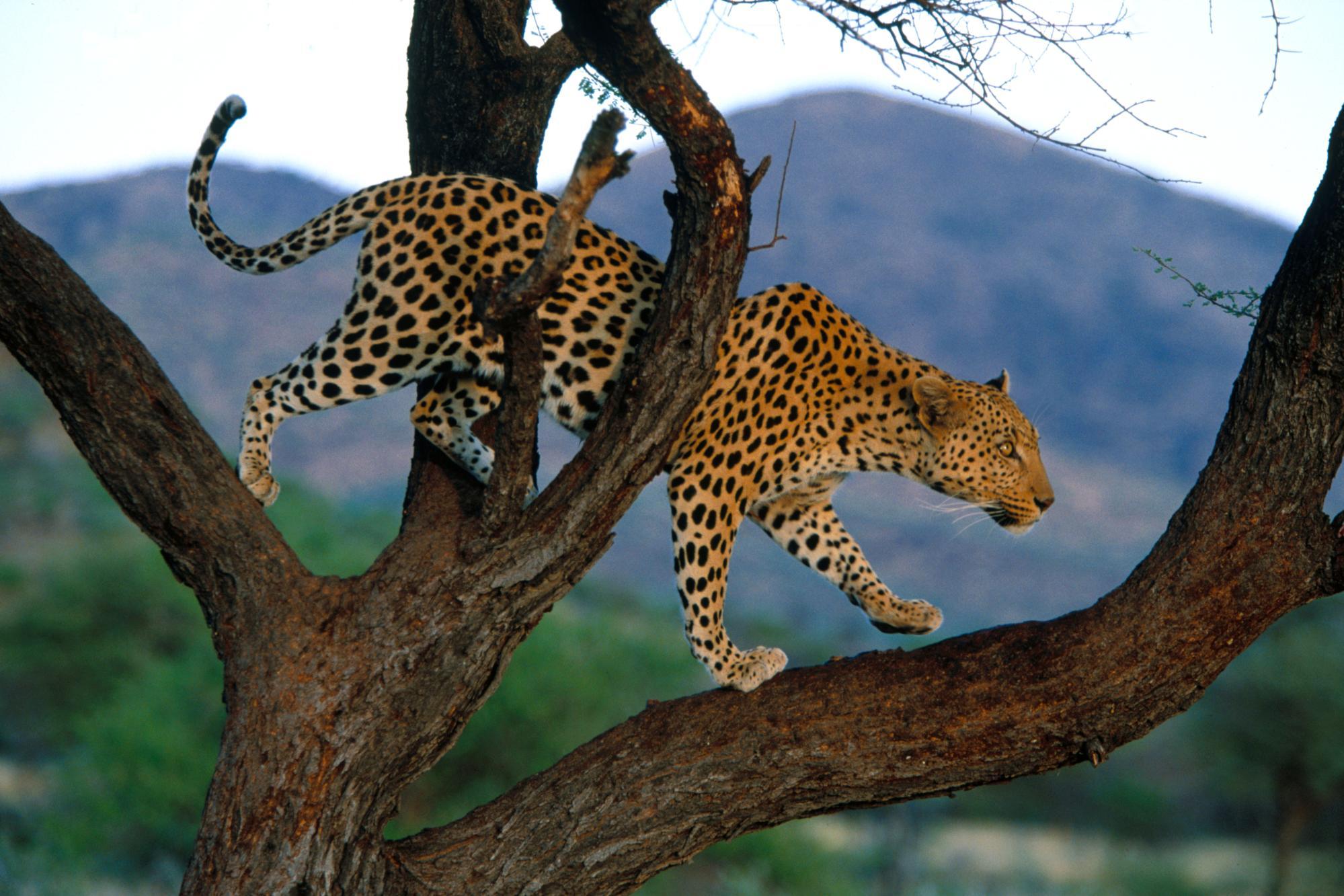 Обои африка, охота, сафари, Кошка, леопард. Кошки foto 17
