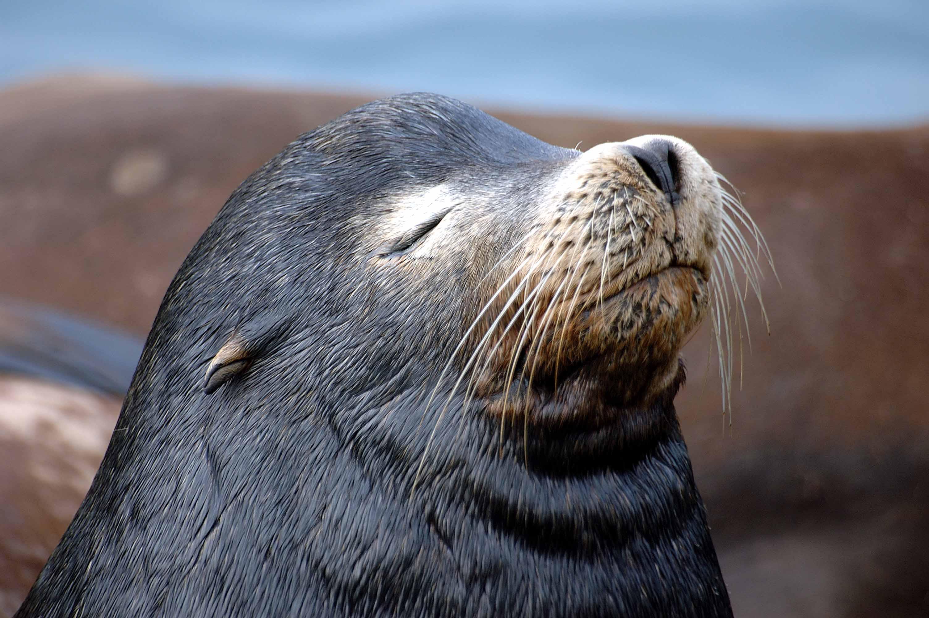 Северный морской котик реферат 6737