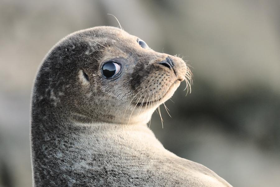 Доклад для детей про тюленя 525