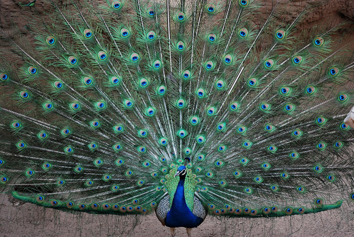 Parakeets Types of Parakeets Parakeet Information