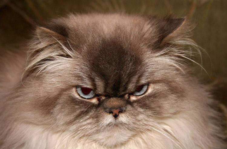 котята персы фото