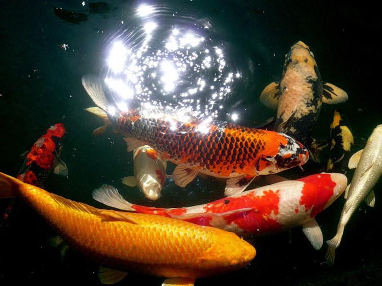 рыба карп в пруду