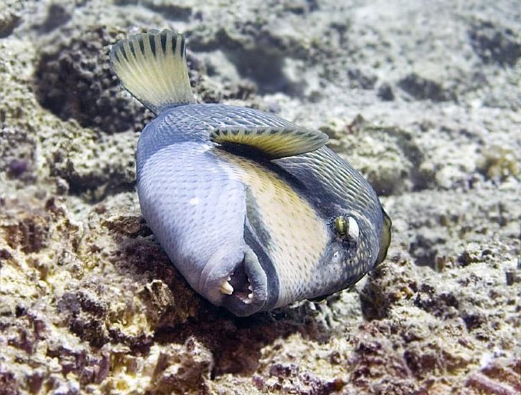 При случае спинороги не упускают возможности потереться о твердые кораллы, чтобы очистить кожу от паразитов.