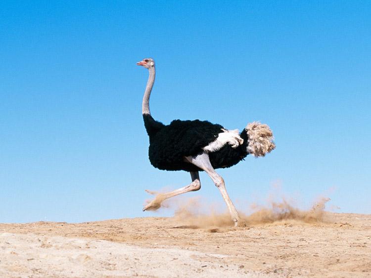 Написать доклад о страусе написать о счастье эссе по