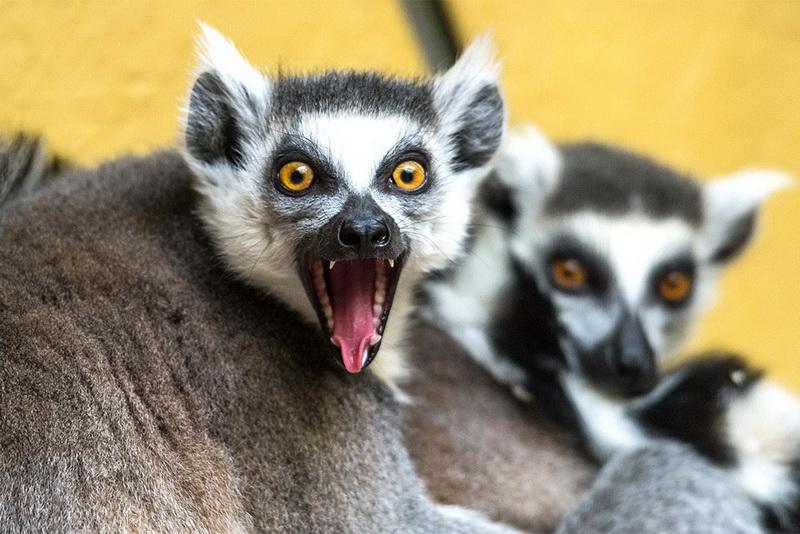Лемуры: виды, описание и фото