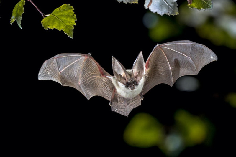 Летучие мыши: виды, чем питаются, где обитают, как размножаются