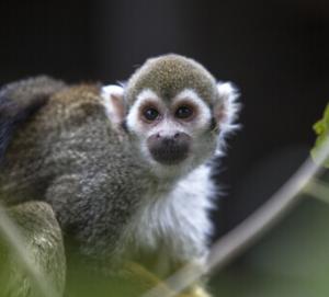 Почему нельзя держать в доме обезьяну