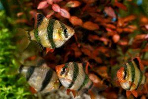 Суматранский барбус — информация