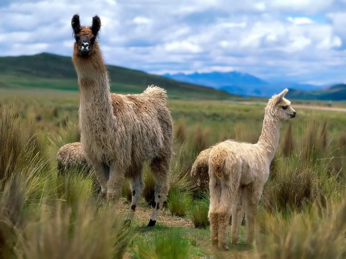 Как выглядит животное лама, чем питается и где живет