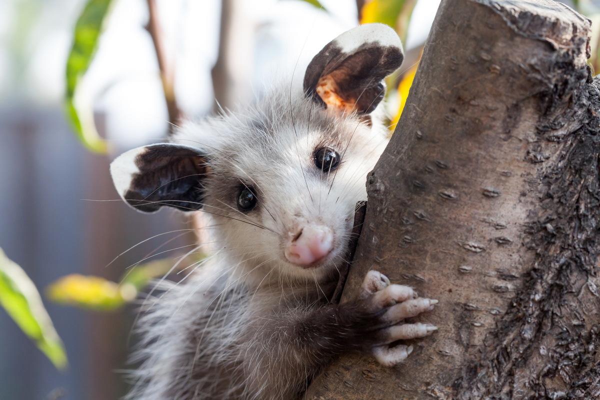 Опоссумы: чем питаются и где живут животные
