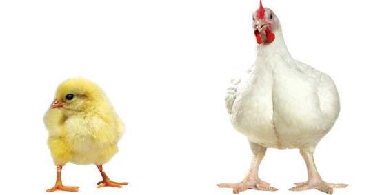 Выращивание и уход за цыплятами-бройлерами