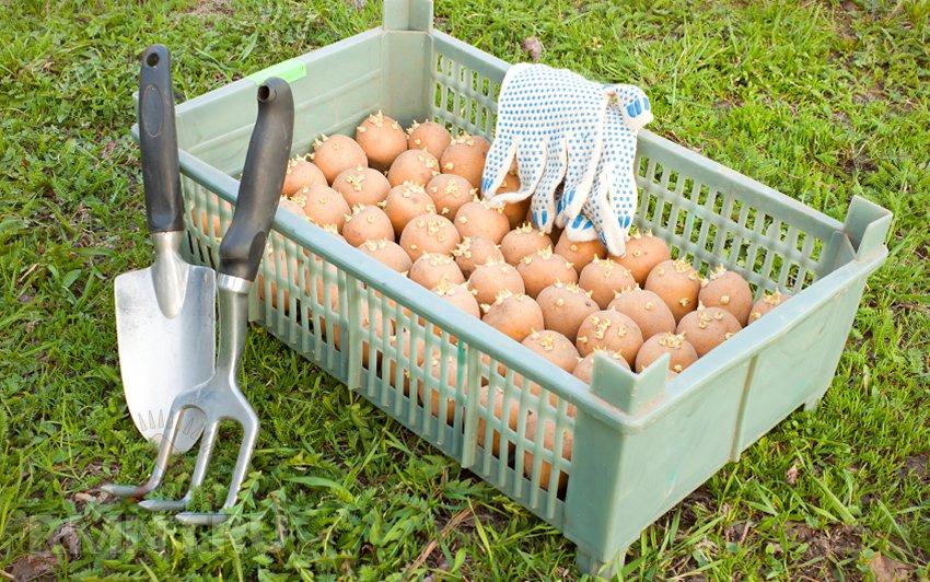 Чем обработать картофель от колорадского жука перед посадкой