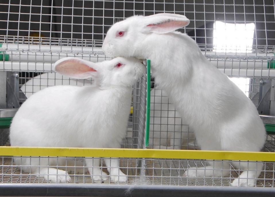 Разведение кроликов как бизнес — выгодно или нет