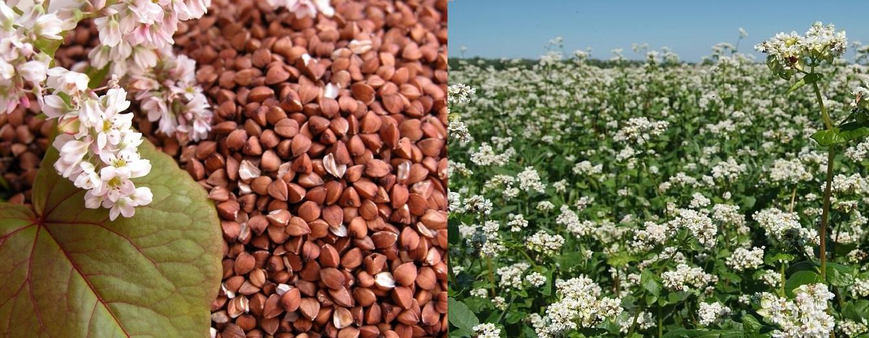 Как выращивают гречку — все этапы работ от подготовки семян к посеву до сбора урожая