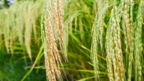 Выращивание риса в России– условия, посадка и уход